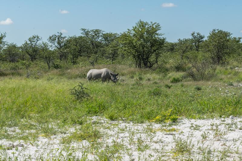 Jedno z najrzadszych zwierząt - nosorożec biały