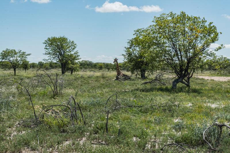 Siedząca żyrafa