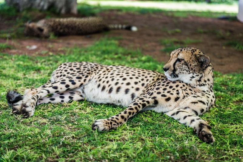 Odpoczywające gepardy