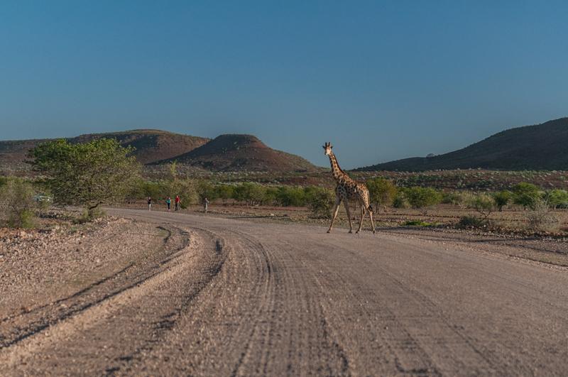 Spotkane po drodze stado żyraf