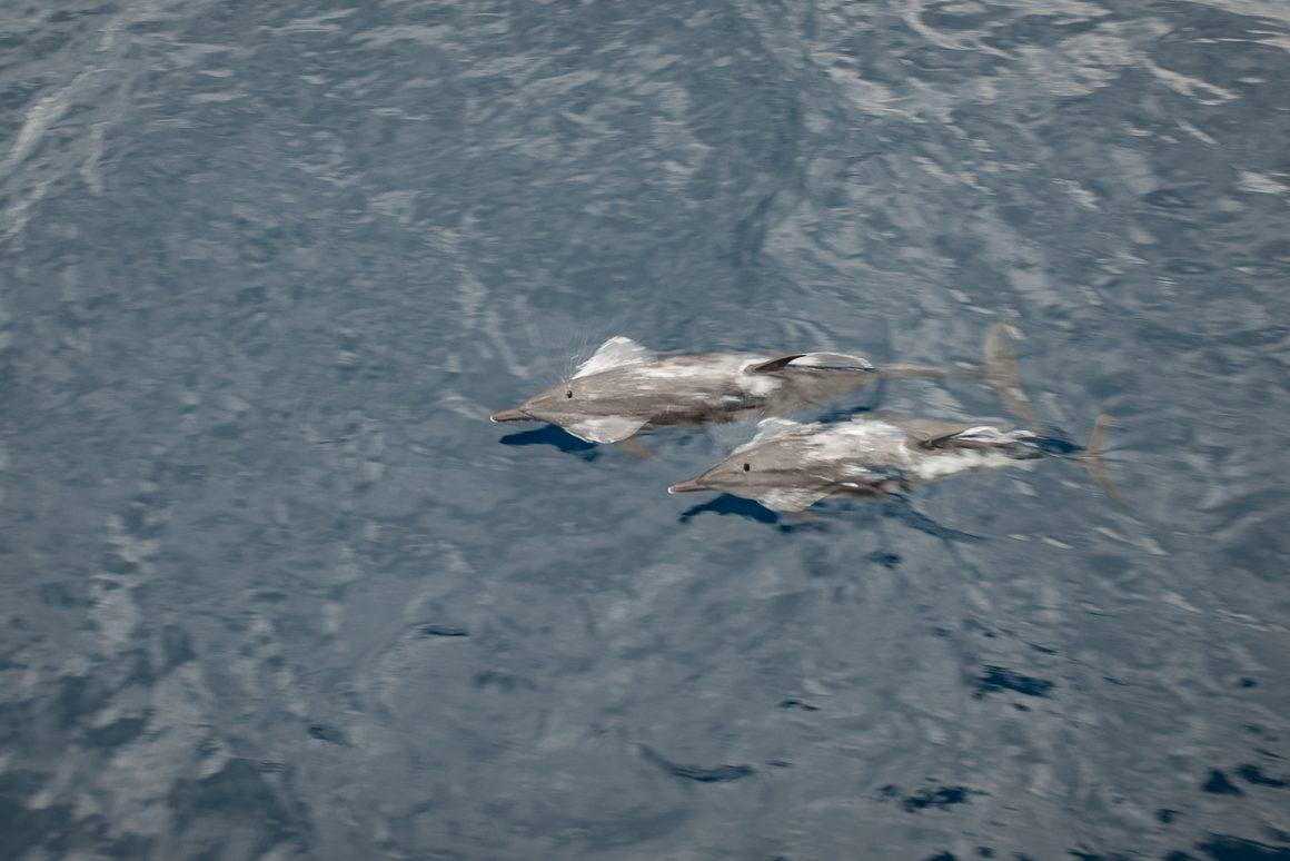 Delfiny płyną obok naszej łodzi.