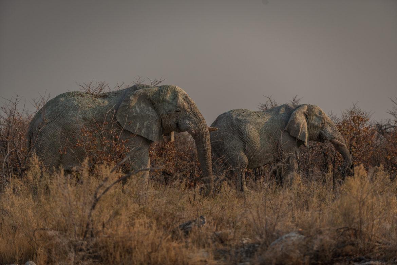 Słonie w Parku Etosha