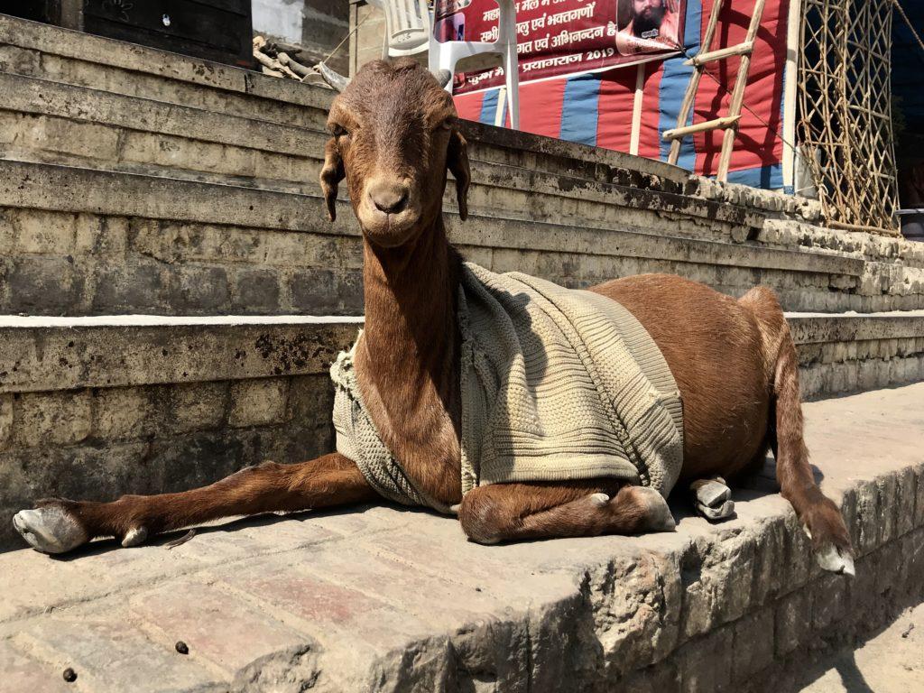 Jedna z wielu kóz ubranych w sweter na Ghatach Gangesu, Varanasi.